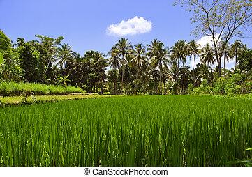 filas, de, palma coco, árvores