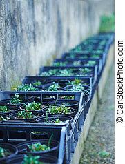 filas, de, seedlings