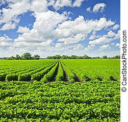 filas, de, soja, plantas, em, um, campo