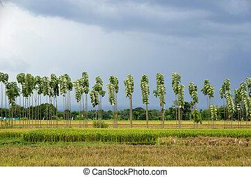 filas, de, teak, árvores, e, ricefields