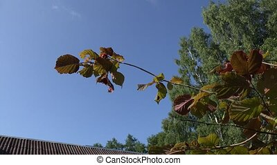 Filbert hazelnut tree branch with nuts against blue sky and house roof. 4K