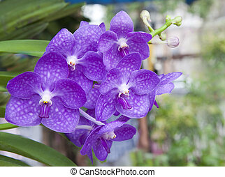 purple orchid flower in the garden