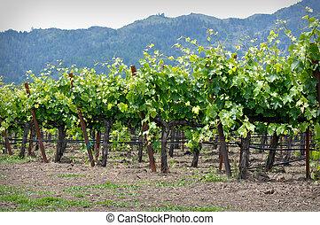 file, uva, viti, california, valle napa