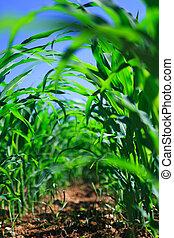 fileira milho, ligado, um, agrícola, field.