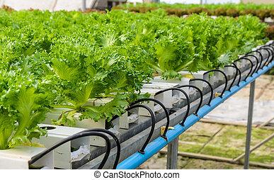 Filey Iceberg lettuce Hydroponic vegetables plantation