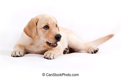 filhote cachorro, de, a, labrador, ligado, um, fundo branco