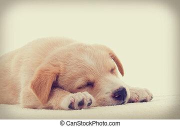 filhote cachorro, dormir