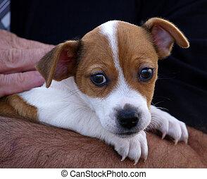 filhote cachorro, em, braços