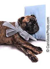 filhote cachorro, travesseiro, dormir