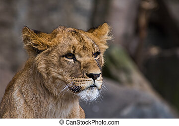 filhote, close-up, leão