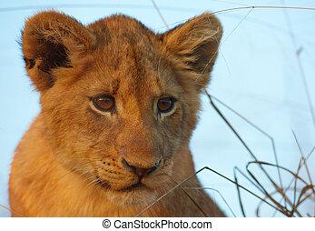 filhote, close-up, leo), (panthera, leão