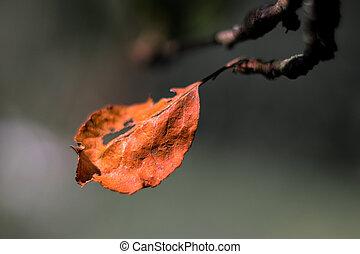 filiálka, list, červeň, svobodný, ponurý, strom, jablko, rozmazat grafické pozadí, podzim