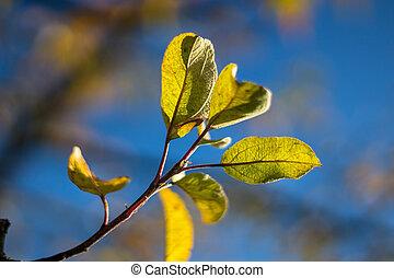 filiálka, list, malý, zbabělý, -, strom, jablko, podzim