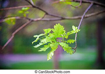 filiálka, sluneční světlo, list, dub, nezkušený
