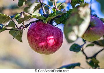 filiálka, strom, list, červeň, zralý, jablko, -