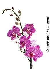 filial, av, orkidé, blomma, (phalaenopsis), vita, bakgrund
