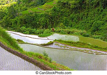 filipinas., arroz, escarpado, terrazas, plantaciones