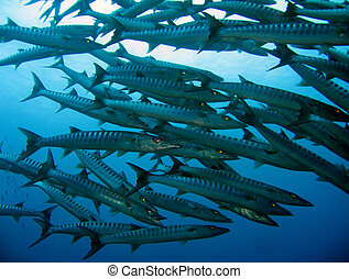 filipinas, barracudas, balicasag, sawtooth