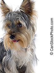 film, terrier, yorkshire, closeup, száj, kutyus, nyílik