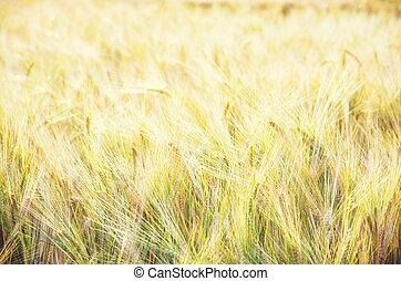 filtre, jaune, champ blé, beauté