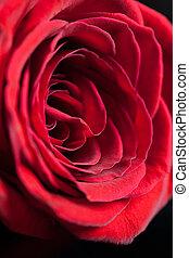 fim, único, rose., cima, vermelho