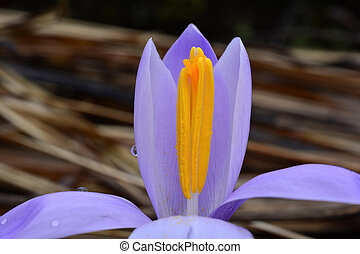 fim, açafrão, violeta, cima, primavera