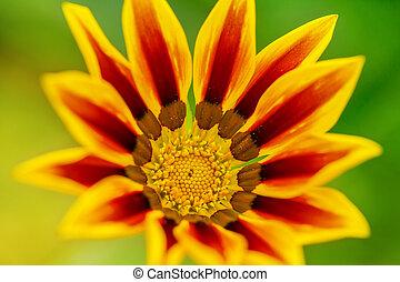 fim,  Gazania, flor, cima, amarela