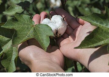 fim, planta, cima, algodão
