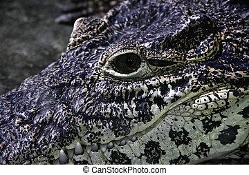 fim, rosto, cima, crocodilo