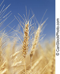 fim, wheat., cima