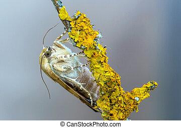 fimbriata), (noctua, broad-bordered, underwing, gele