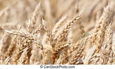 fin, blé, haut