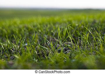 fin, bleu, rye., haut, agricole, autumn., sky., jeune, blé, ...