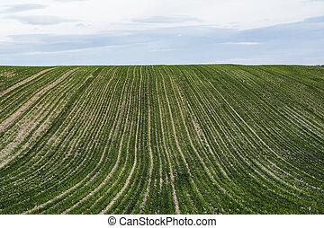fin, bleu, rye., haut, agricole, autumn., sky., jeune, blé, seigle, proces., soil., seedlings, agriculture, jour ensoleillé, pousser, croissant, pousses, champ vert