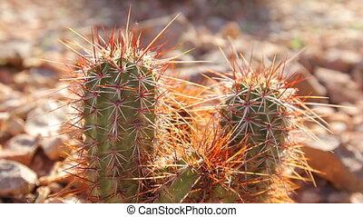 fin, cactus, haut, vue