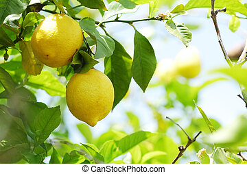 fin, citron, haut