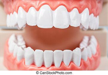 fin, dents, model., haut