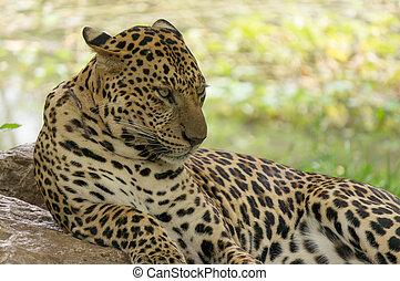 fin, léopard, haut