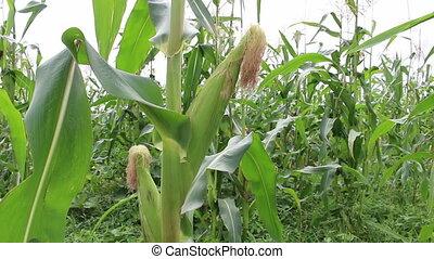 fin, maïs, haut, fond, champ