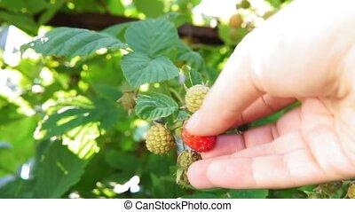 fin, main, harvest., bush., rassemblement, haut, framboise, framboises