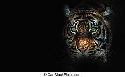 fin, noir, haut, fond, tigre