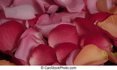 fin, pétales, tourner, coloré, rose