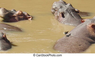 fin, rivière, haut, hippopotame