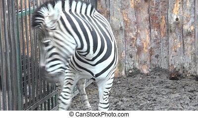 fin, zebra., haut