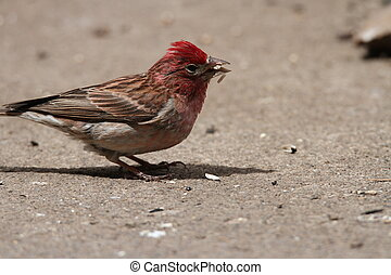 Finch at wildlife reserve - Red finch at wildlife reserve