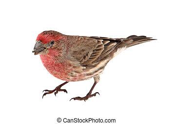 Finch Eating Bird Seed