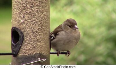 Finch, eating seeds - Finch eating seeds from a birdfeeder...