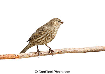 finch eats a safflower seed