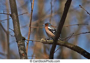 Finch on a tree in spring forest.