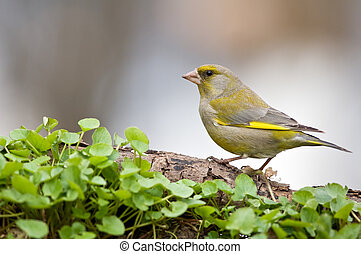 finch on twig in forest